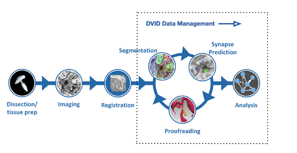DVID data management role in connectome reconstruction